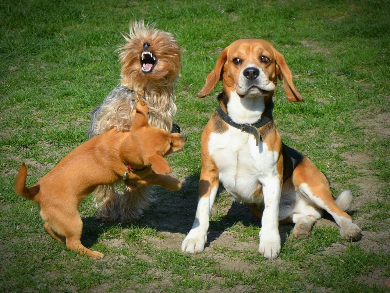 Dog Dogs Beagle Beaglelovers Yorkshire Terrier Yorkie Yorkshire Playing Funny Faces Funny