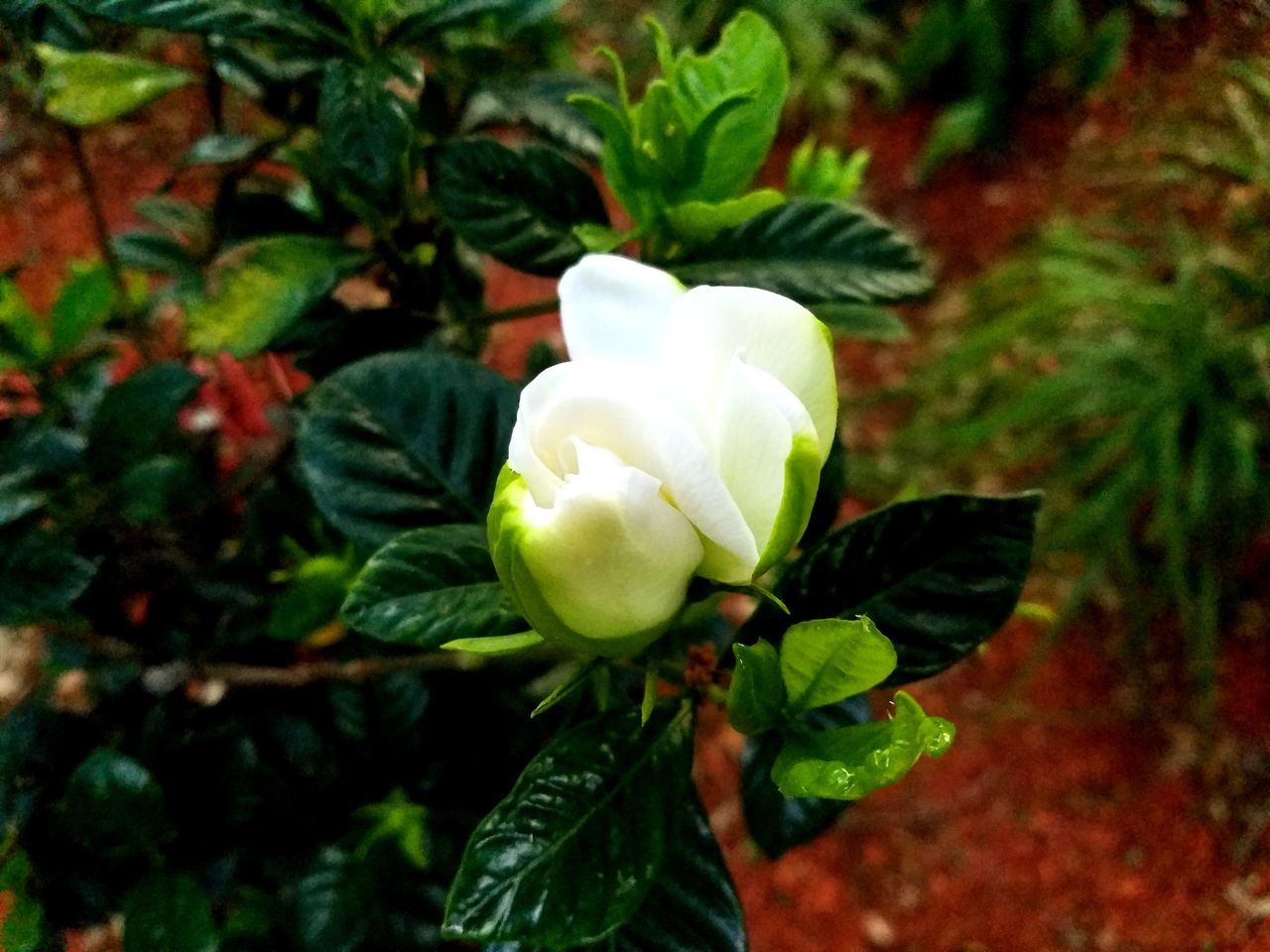 Flower Growth Petal Freshness Beauty In Nature Nature Fragility Plant Flower Head Close-up Blooming No People Day Outdoors Leaf Gardenia