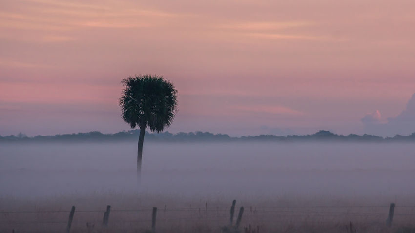 Single Palmetto Tree in field on a foggy morning. Cabbage Palm Tree Field Lonely Palmetto Peaceful View Fence Line Foggy Morning Scenics Solitude Tranquil Scene Tranquility