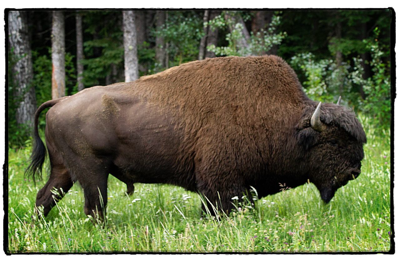 grass, animals in the wild, no people, one animal, animal themes, animal wildlife, outdoors, american bison, nature, side view, mammal, day, moose, grazing, full length