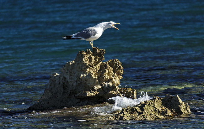 Seagull Life Animals In The Wild Beak Beauty In Nature Blue Sky Blue Wave Cliff Croatia Focus On Foreground Holiday 2016 Istria Summer Istrian Coast Istrien Loneliness Nikon One Animal Rock And Sea Rock Formation Sea Sea Spray Seagull Shouting Out  Water Bird Water Surface Wave Waves, Ocean, Nature