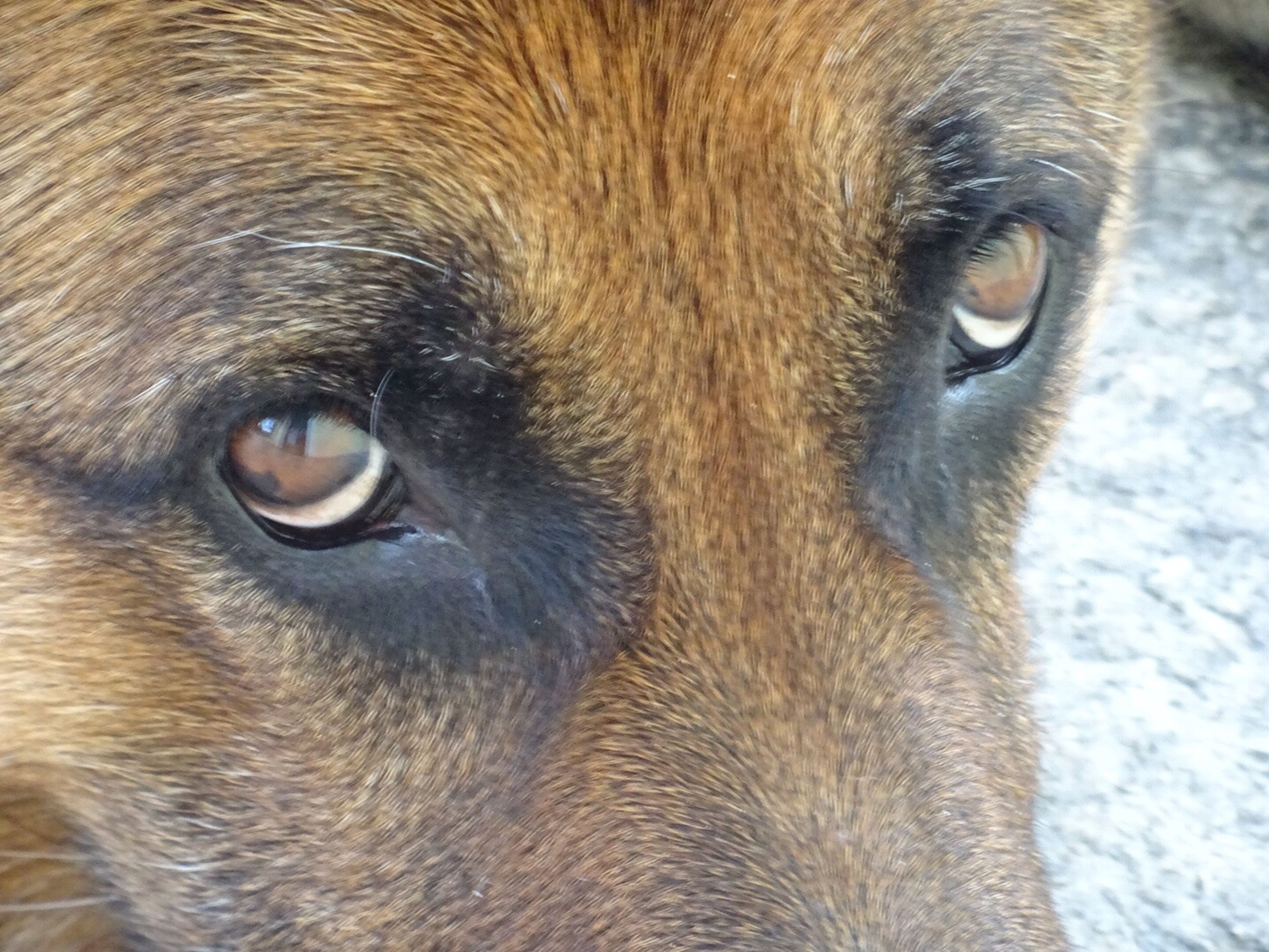 animal themes, one animal, domestic animals, animal head, mammal, animal body part, close-up, pets, animal eye, dog, part of, portrait, animal nose, snout, looking at camera, extreme close up, full frame, animal hair, focus on foreground, zoology