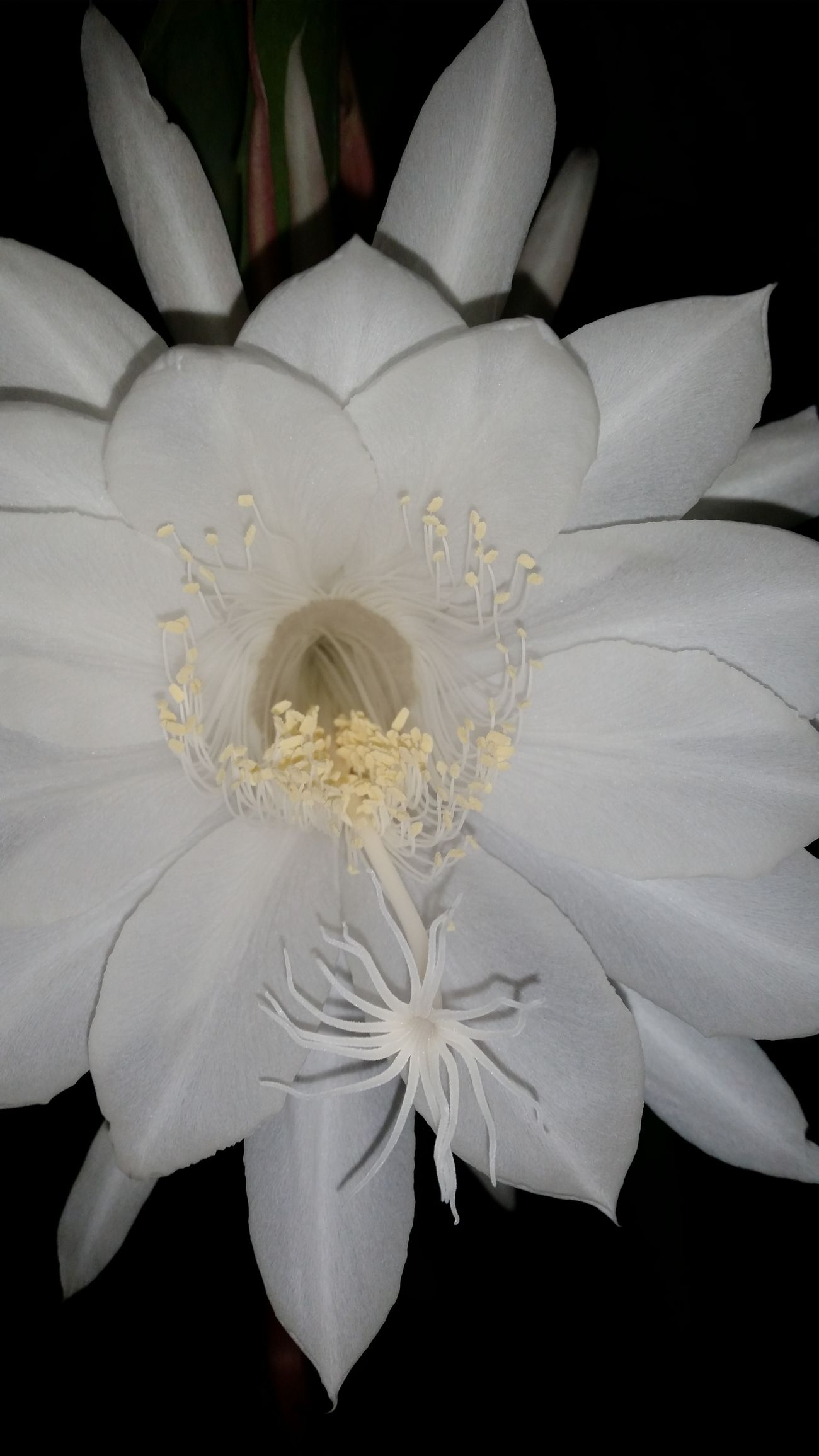 Close-up Beauty In Nature Flower Head Fragility Enjoying Life Happy Makesmesmile Beauty In Nature Outdoors Night Photography Nightblooming Cereus ...