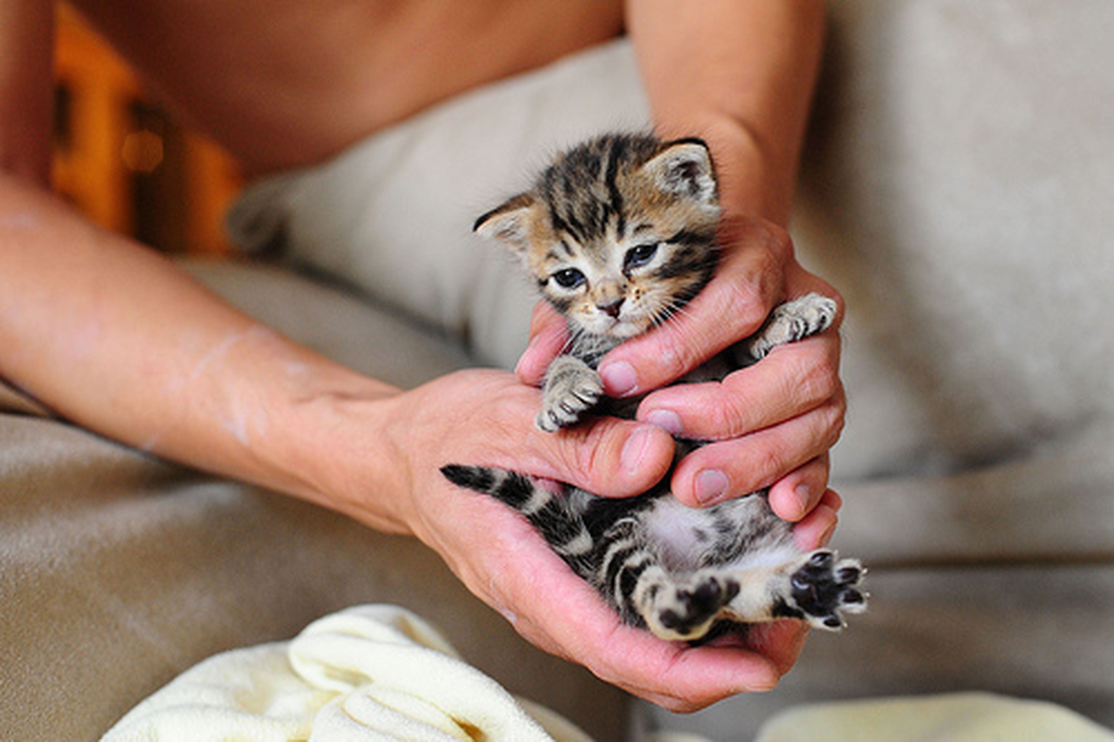animal themes, pets, person, one animal, domestic animals, mammal, holding, domestic cat, indoors, pet owner, part of, young animal, human finger, cat, unrecognizable person, feline, cropped
