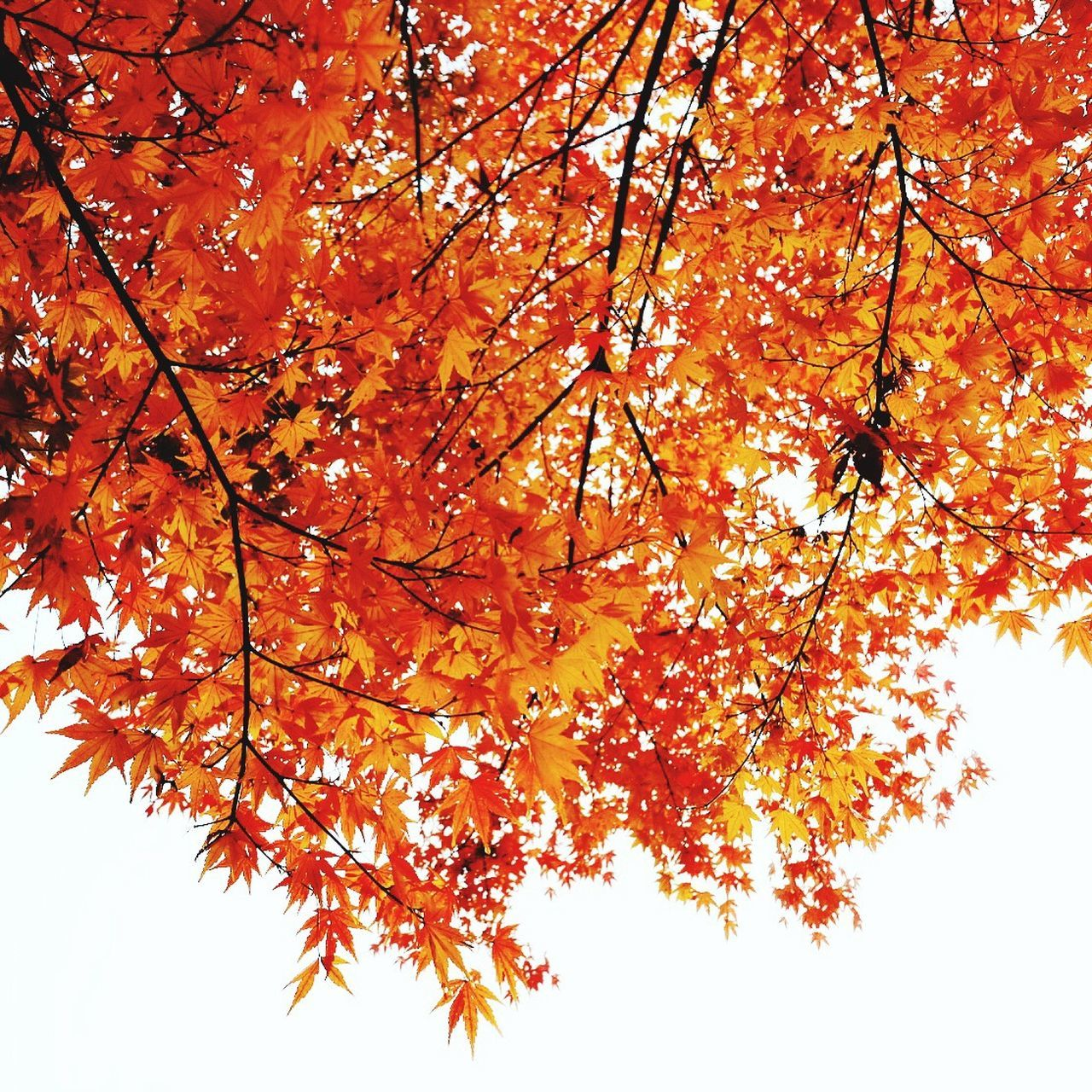 Autumn Nature Orange Color Tree Leaf Beauty In Nature Maple Leaf Maple Nature Fujifilm_xseries Japan Photography Wabi-sabi Beautiful Nature X-PRO2 Beauty In Nature Eyemphotography Fujifilm EyeEm Best Shots EyeEm Best Edits EyeEm Gallery Japan