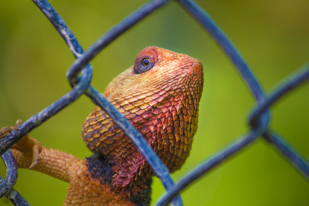 Chameleon on fence Chameleon Chameleon On Fen Animal Themes Animal Wildlife Cage Chainlink Fence Close-up Lizard Love Lizard Nature Lizard On Fen Lizard Watching Metal Nature One Animal Outdoors Protection Reptile Reptile Reptile Photography Trapped