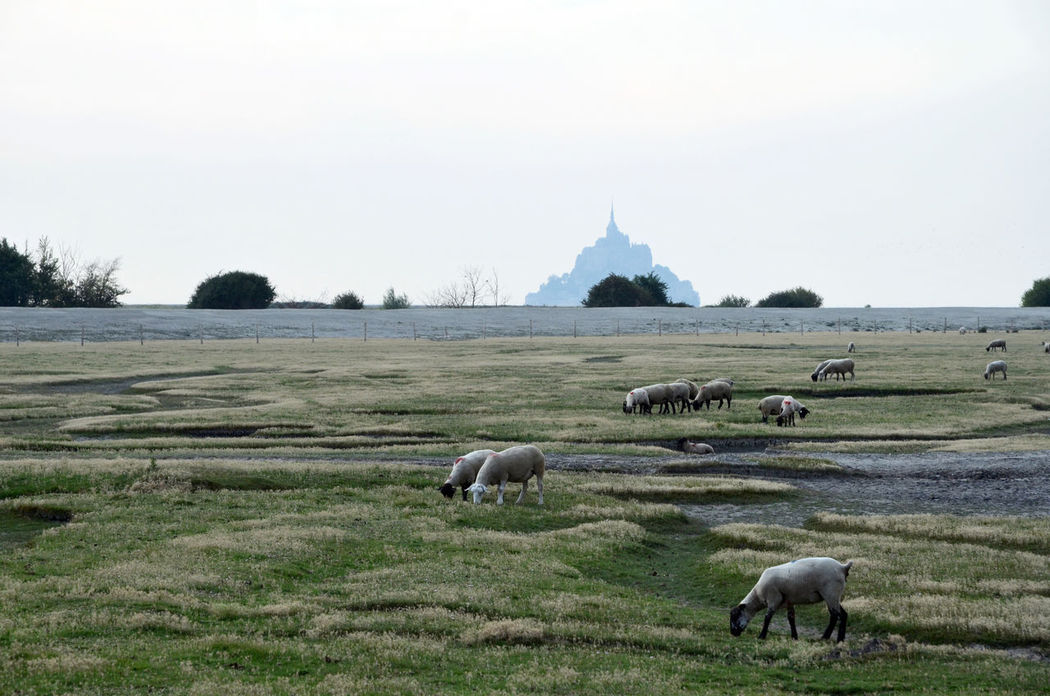 Animal Themes Beauty In Nature Bushes Depth Of Field Mont St. Michel Grass Landscape Mont Saint Michel Normandie, France Normandy Rural Scene Salt Meadows Sheep Silhouette Mont Saint-Michel Fine Art Photography Tranquility Mont St Michel Fine Art Nature From My Point Of View Profondeur Perspective Agricultural Land Agriculture