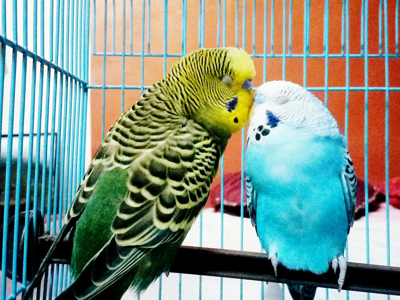 PetLover || Parakeet Animal Wildlife Love Animals💕 EyeEmNewHere Animal Love Pet Love Birds🐦⛅ Pets Corner Love In The Air Love In The Air 💚 Animals In The Wild