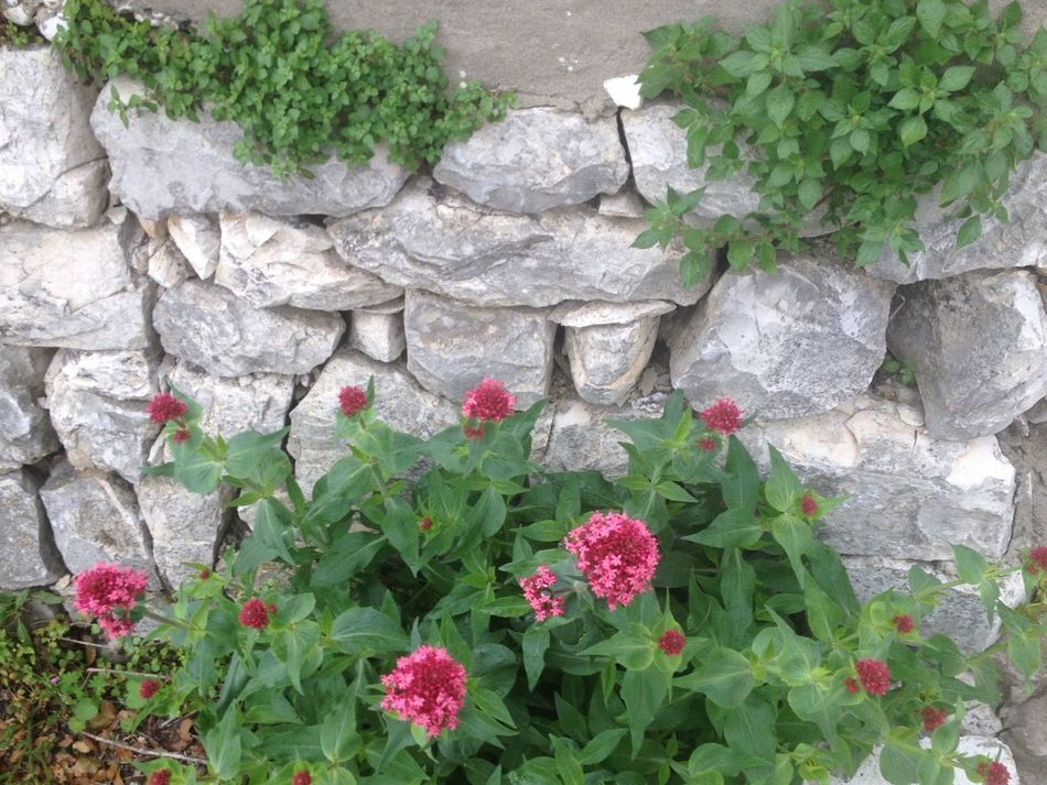 Stone Wall Plant Growth Green Color Nature No People Outdoors Beauty In Nature Close-up Flower