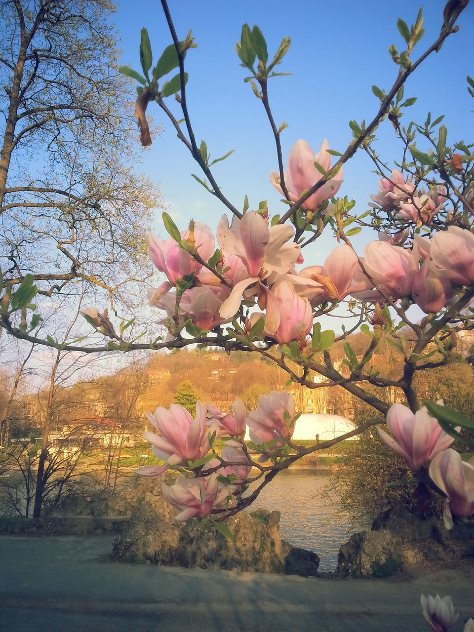 flower, tree, beauty in nature, branch, nature, fragility, pink color, growth, blossom, petal, magnolia, no people, freshness, springtime, botany, sky, day, outdoors, low angle view, flower head, plant, close-up, blooming, clear sky
