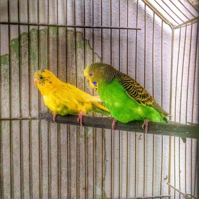 Australian parakeets Parakeet Vscocam Vsco_feature Vscoartist vsco birds