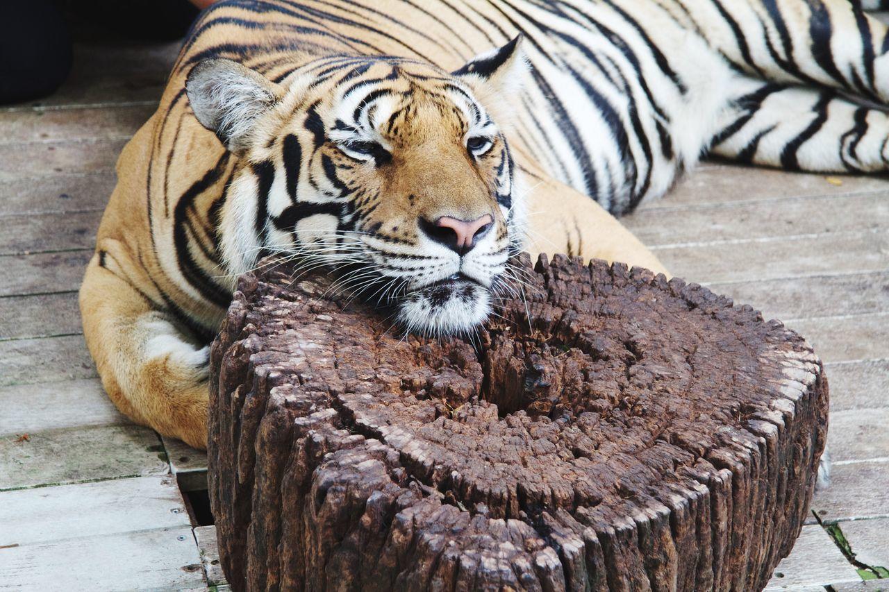Tigré à Chiang Mai - Thaïlande Tiger Nature Thaïlande