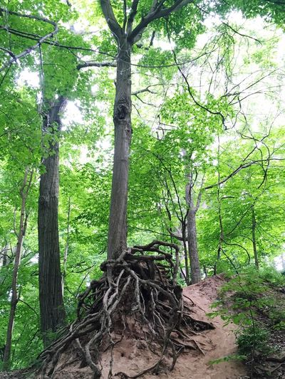 Exposed roots Tree Forest Exposed Roots Roots Exposed Nature_collection Nature Nature Photography Niagara Falls Check This Out Park Ontario Canada Green Leafs Bark Beauty In Nature Erosion Erosion Effects Naturelovers Photography NiagaraFallsCanada Relaxing Niagara Falls Ontario Niagara