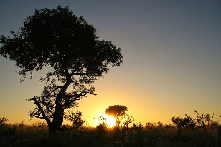 Tree Beauty In Nature Nature Sunset Single Tree Silhouette Sky Idyllic Scenics Outdoors Tree Trunk No People Tranquility Rural Scene Close-up Landscape Growth Clear Sky Mountain Tree Area Sunrise KrugerEnthusiasts Krugernationalpark Safari Animals Kruger National Park, South Africa