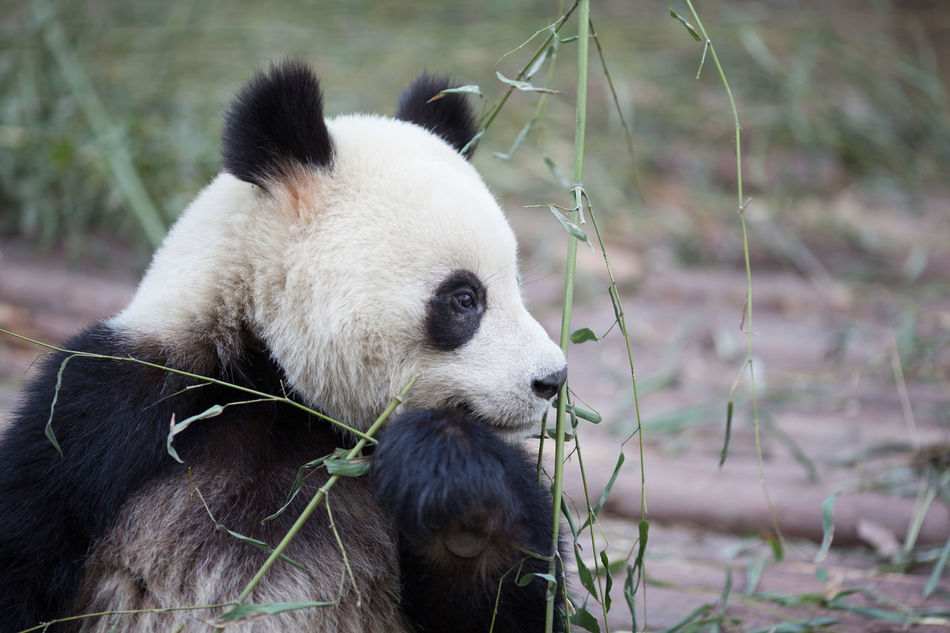 Beautiful stock photos of panda, Animal Behavior, Animal Themes, Animals In The Wild, Bear