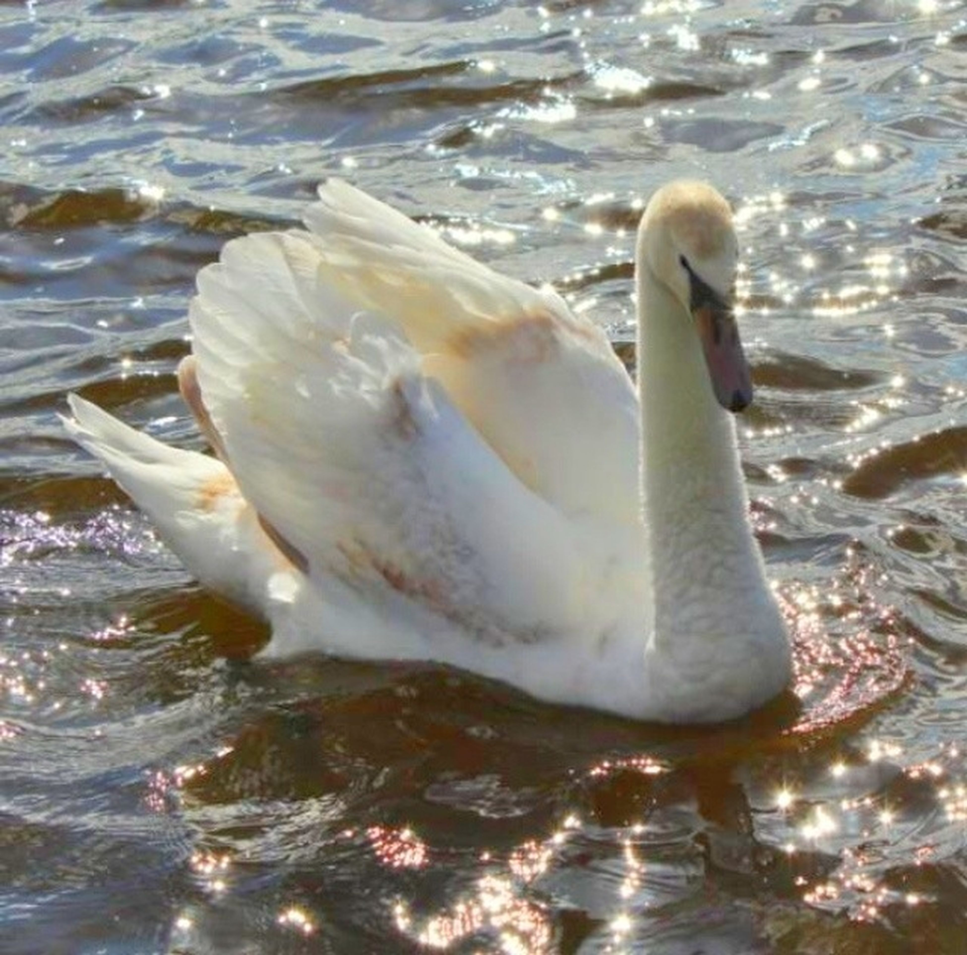 animal themes, water, animals in the wild, bird, wildlife, swan, swimming, lake, one animal, beak, waterfront, water bird, rippled, white color, nature, high angle view, reflection, outdoors, day, duck