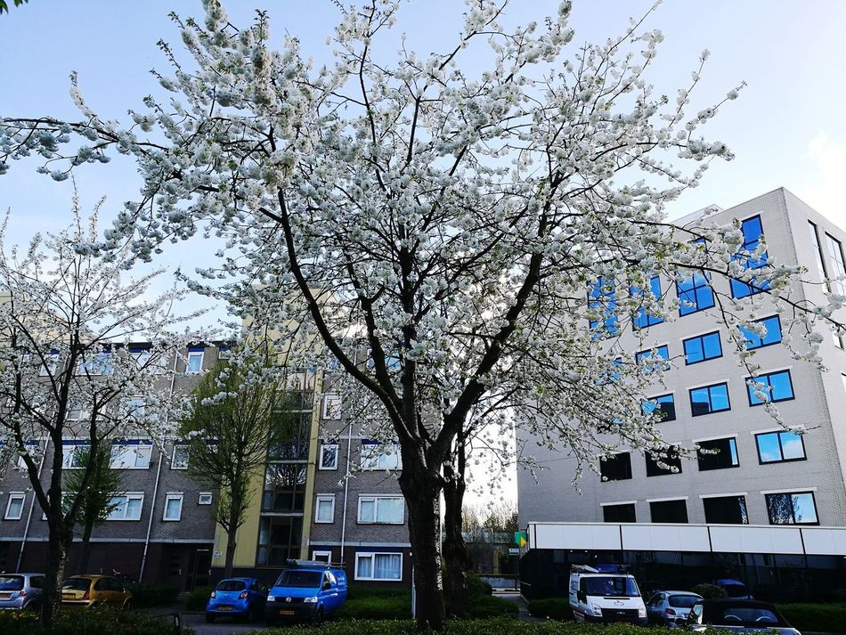 City Growth Building Exterior Tree Outdoors No People Day Sky Architecture Skyscraper Blossom Tree Blossom Flowers Made By Noesie Beauty In Nature Scenics Backgrounds Outdoors Photography HuaweiP9Photography White Flower White Flowers Buildings & Sky Buildingstyles