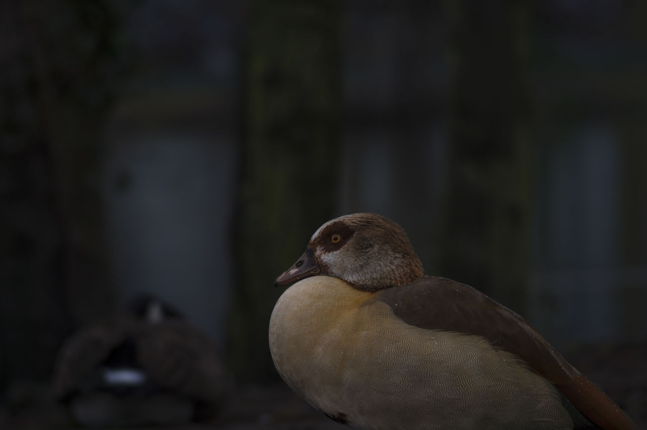 Animal Photography Beautiful Animals  Beauty In Nature Closeup Egyptian Goose EyeEm Best Shots EyeEm Gallery EyeEm Nature Lover EyeEmBestPics Focus On Foreground From My Point Of View Front View Goose Nature Photography Night Photography Nile Goose Egyptian Goose