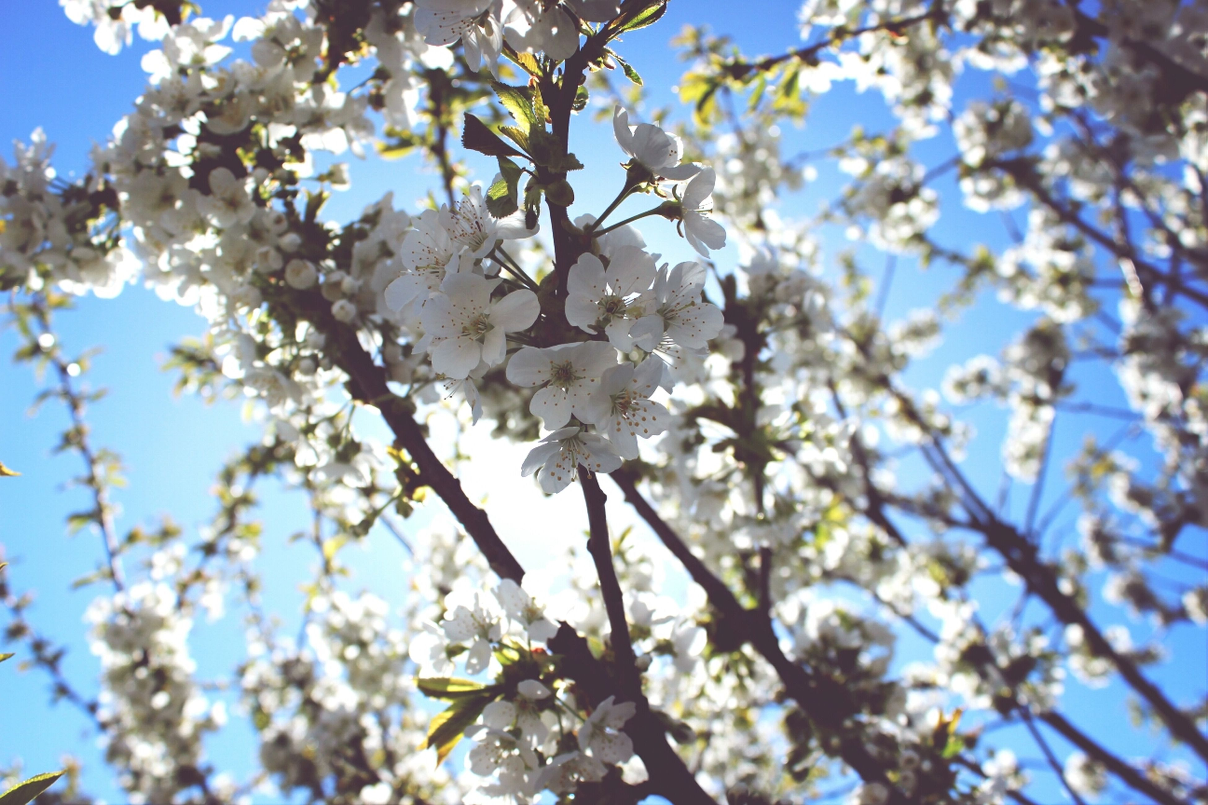 flower, branch, tree, freshness, growth, low angle view, cherry blossom, blossom, fragility, beauty in nature, cherry tree, nature, white color, springtime, fruit tree, apple tree, in bloom, blooming, twig, apple blossom