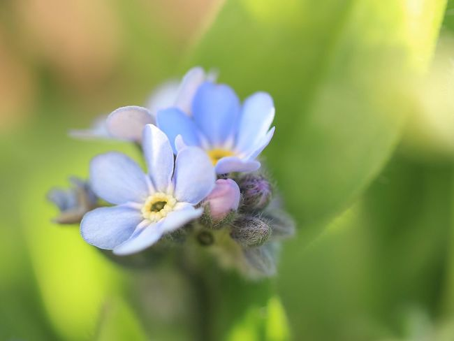 EyeEm Flower Flowers EyeEm Nature Lover 忘れな草 Forget Me Not