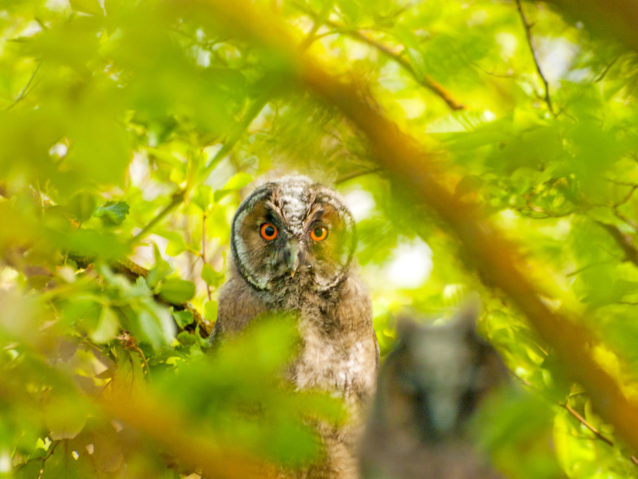 Animal Portrait Animal Themes Animals In The Wild Asio Otus Beauty In Nature Bird Bird Of Prey Birds Camouflage Camouflage Animals Close-up Day Environment Long-eared Owl Nature No People One Animal Outdoors Owl Owl Eyes Owls Perching Perching Bird Tree Wildlife The Great Outdoors - 2017 EyeEm Awards