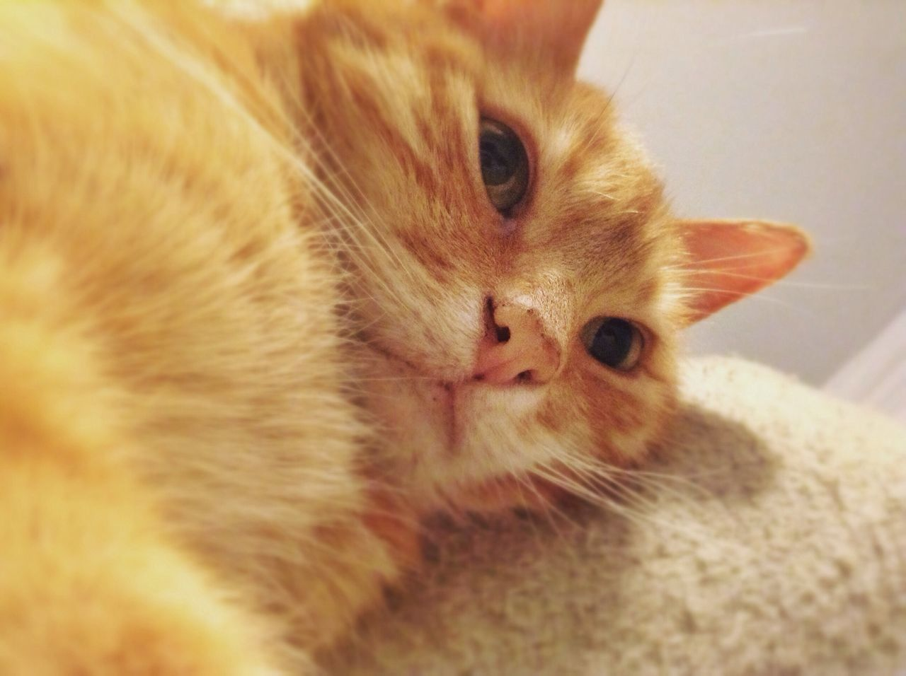 pets, domestic cat, mammal, one animal, domestic animals, animal themes, feline, whisker, indoors, no people, portrait, close-up, ginger cat, day