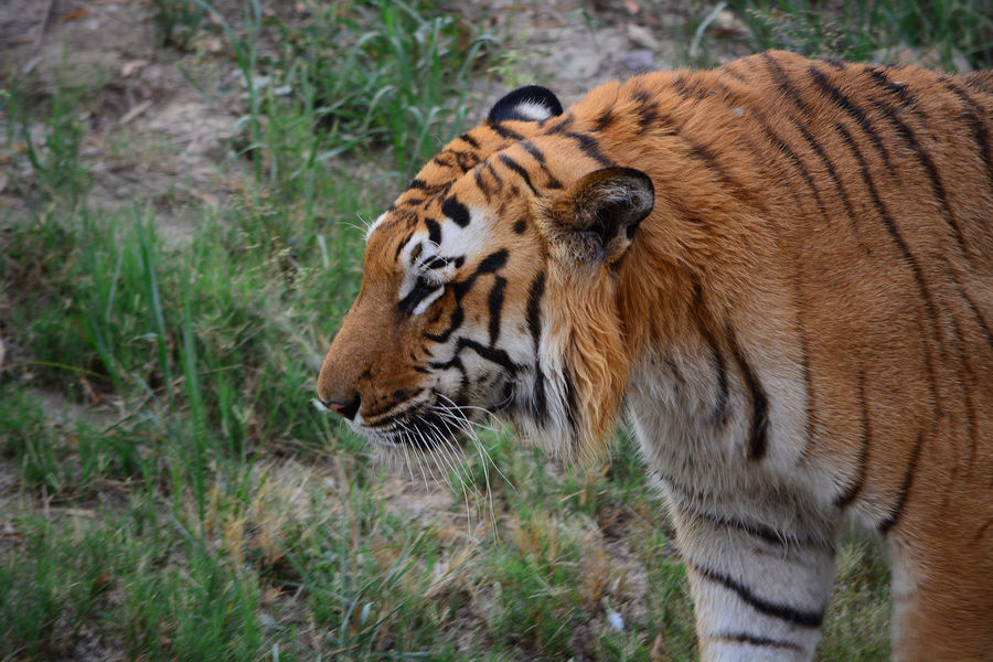 King Of The Jungle Tiger Tiger Pride Tiger Face Animal Themes Animal Photography Animals In Captivity Zoo Animals  Animal Love Animal_collection Tiger-love Tiger Eyes