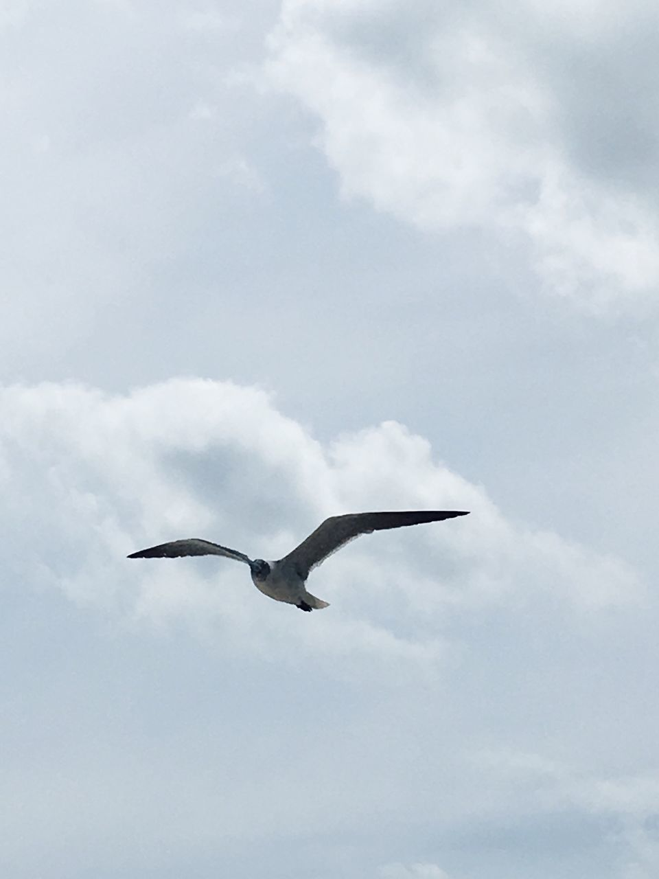 flying, one animal, animals in the wild, animal themes, cloud - sky, bird, spread wings, sky, day, low angle view, mid-air, animal wildlife, nature, outdoors, no people, beauty in nature