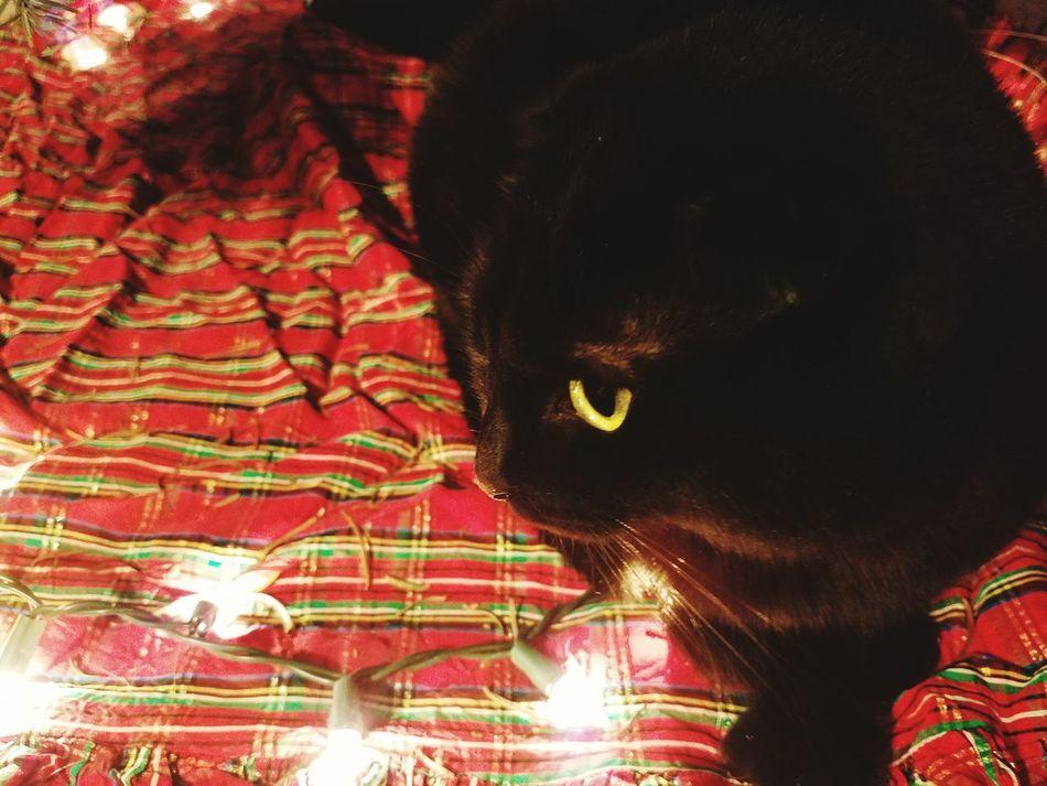 Pets Indoors  Feline Close-up Winter Plaid Indoors  Illuminated Scottish Fold Kitten Cats