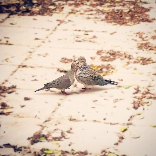 Love Doves . An old shot. Still a favorite. Lovedove Lovedoves