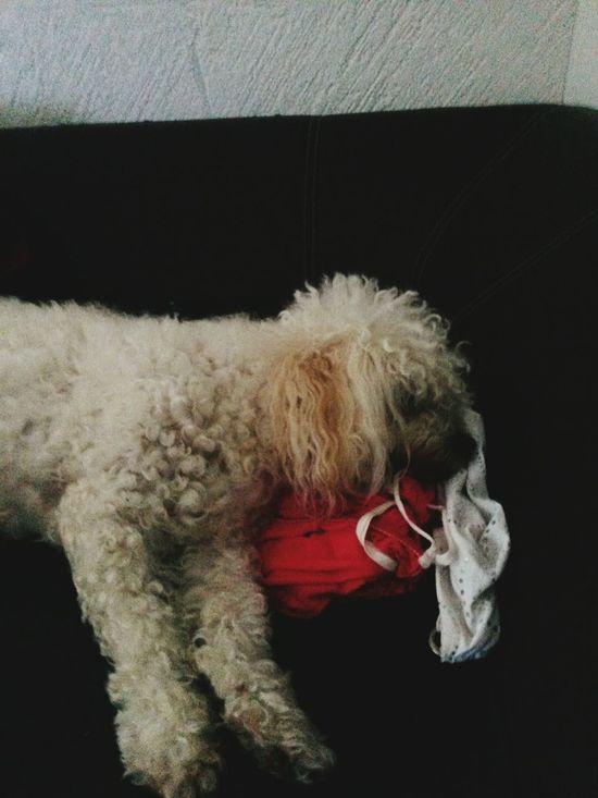 When my dog is sleeping *.* Animal Pet Dog Frenchpoodle Photoeveryday Photography Photooftheday Sleeping Dog Goodsaturday ^^