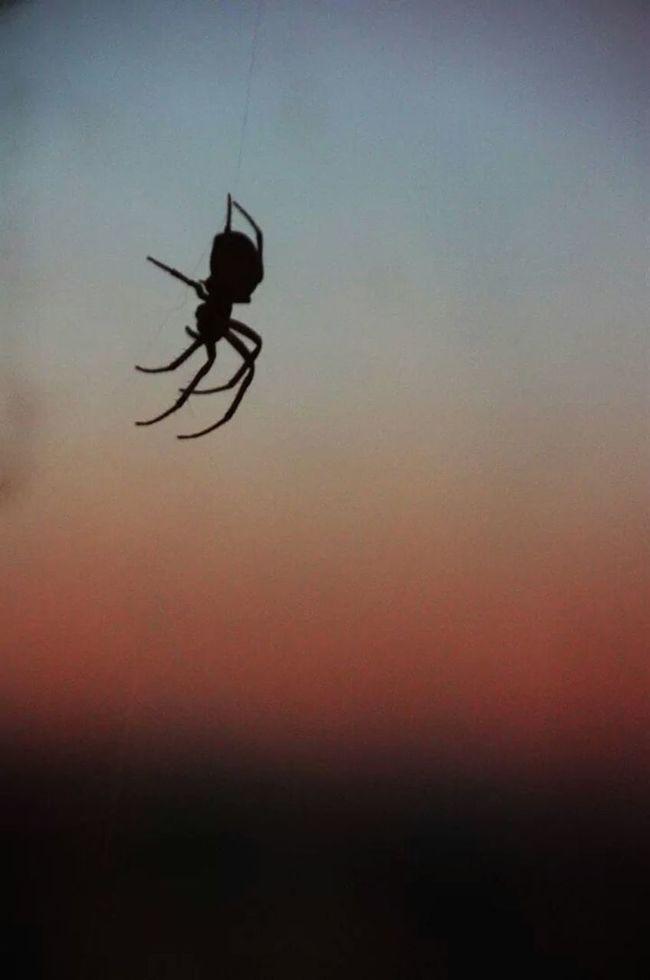 Spider Romantic Spider