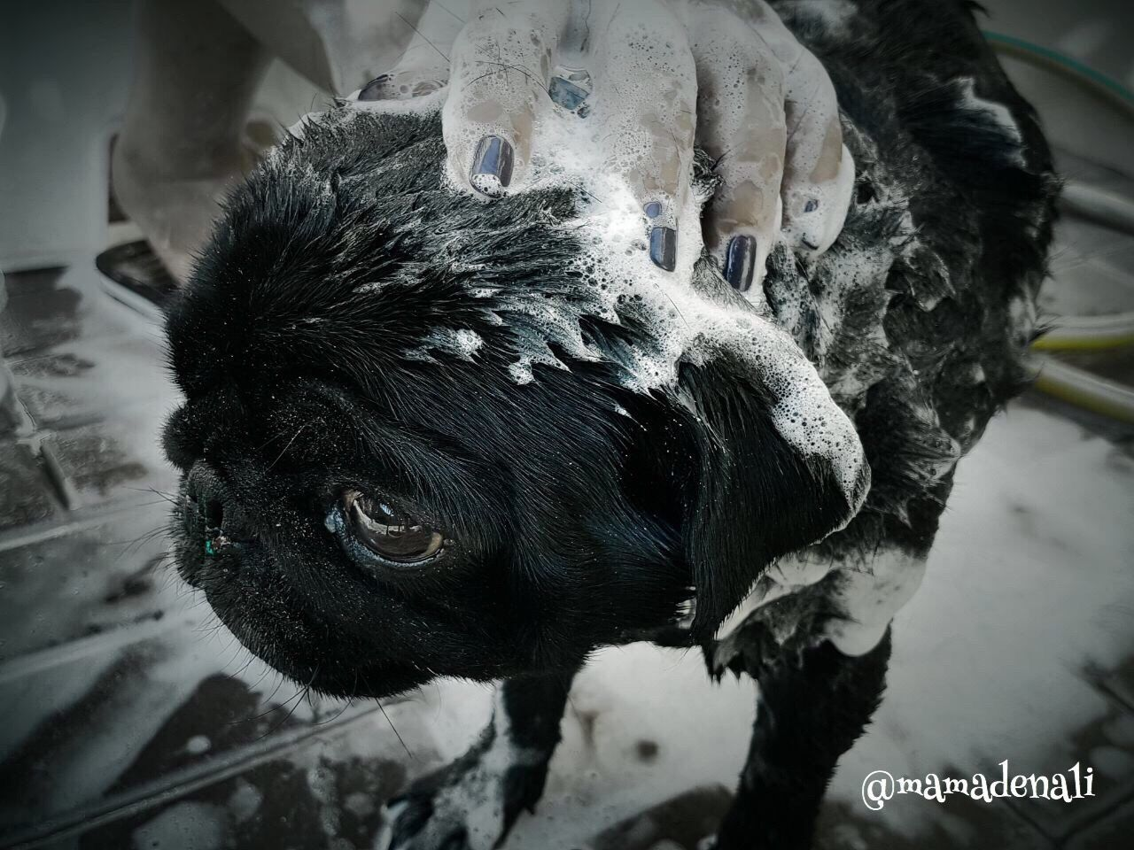 Mammal Animal Themes Domestic Animals Indoors  No People Dog Close-up Day Clean Shower Time Pug Puglife Puglover