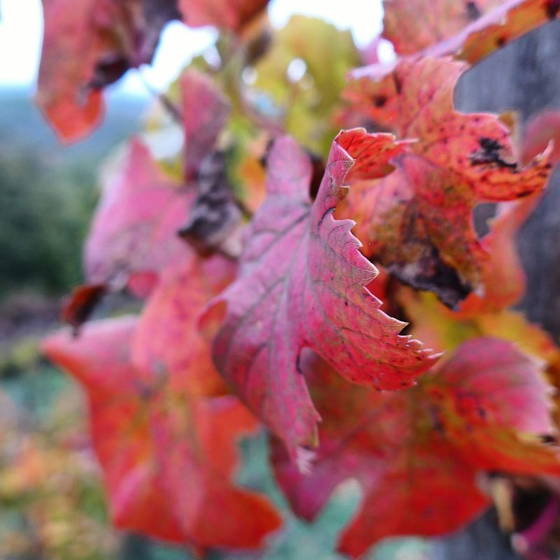 Wine Autumn Colors Autumn Outdoors Nature Vite Leicacamera No People Multi Colored Leica_c_typ_112