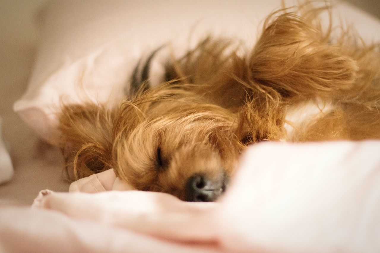 Pets Mammal Animal Themes Domestic Animals One Animal Lying DownAnimals Animal Dogs Of EyeEm Dogs Yorkshireterrier Yorkshire Pets In The House Yorkshire Terrier Sleeping Sleeping Dog Relaxation Indoors  Close-up Dog No People Day