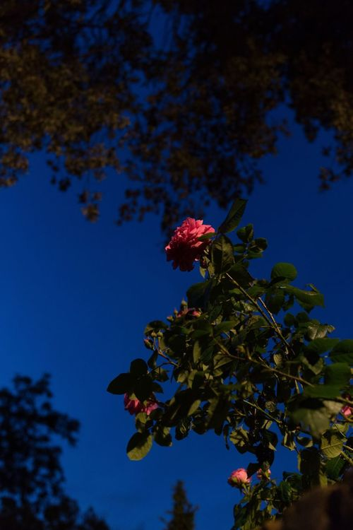 Electric Rose 2017 Roses Dusk Night Streetphotography Street Photography Nature Street Suburban Outdoors Mundane Fine Art Photography Low Light Natural Light No Edit Riverside