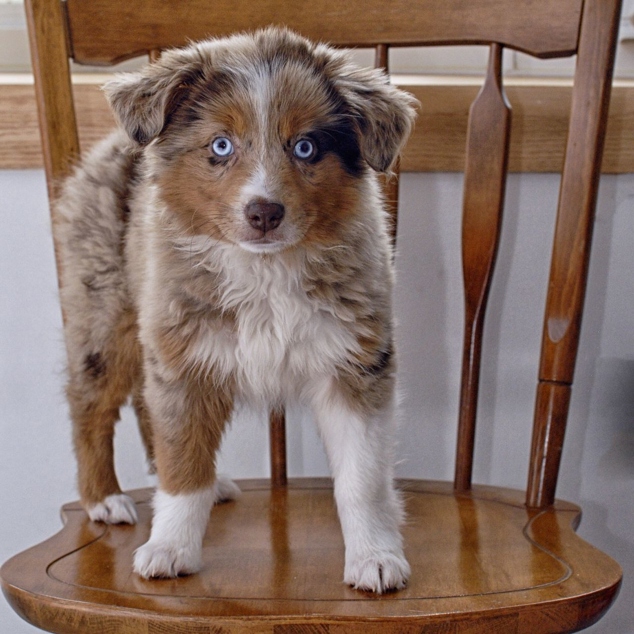 Australian Shepherd  Puppy Love