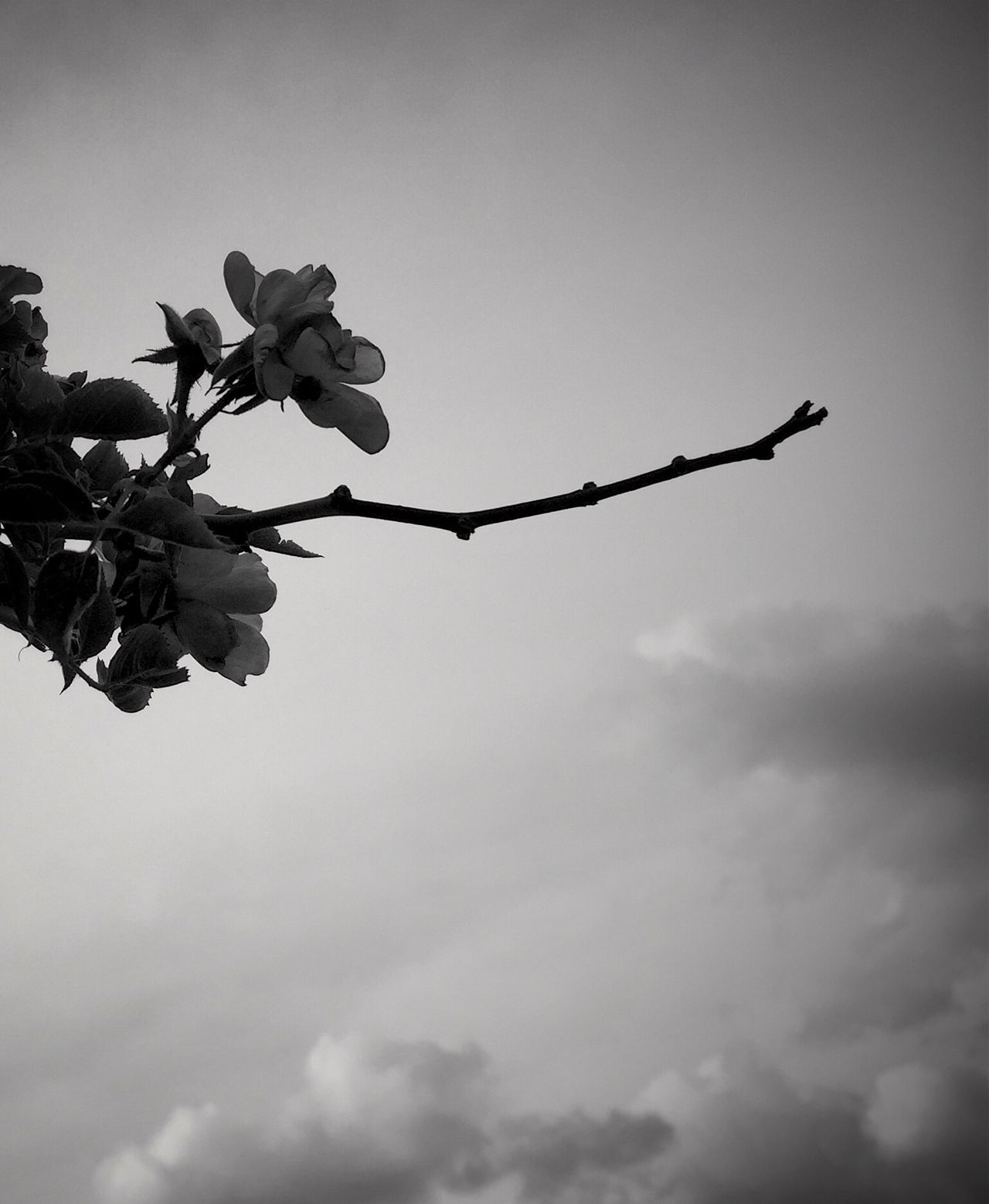 EyeEm Nature Lover Iphone6plus Blackandwhite Roses Nature IPSBlackWhite Silhouette Taking Photos Check This Out Flowers