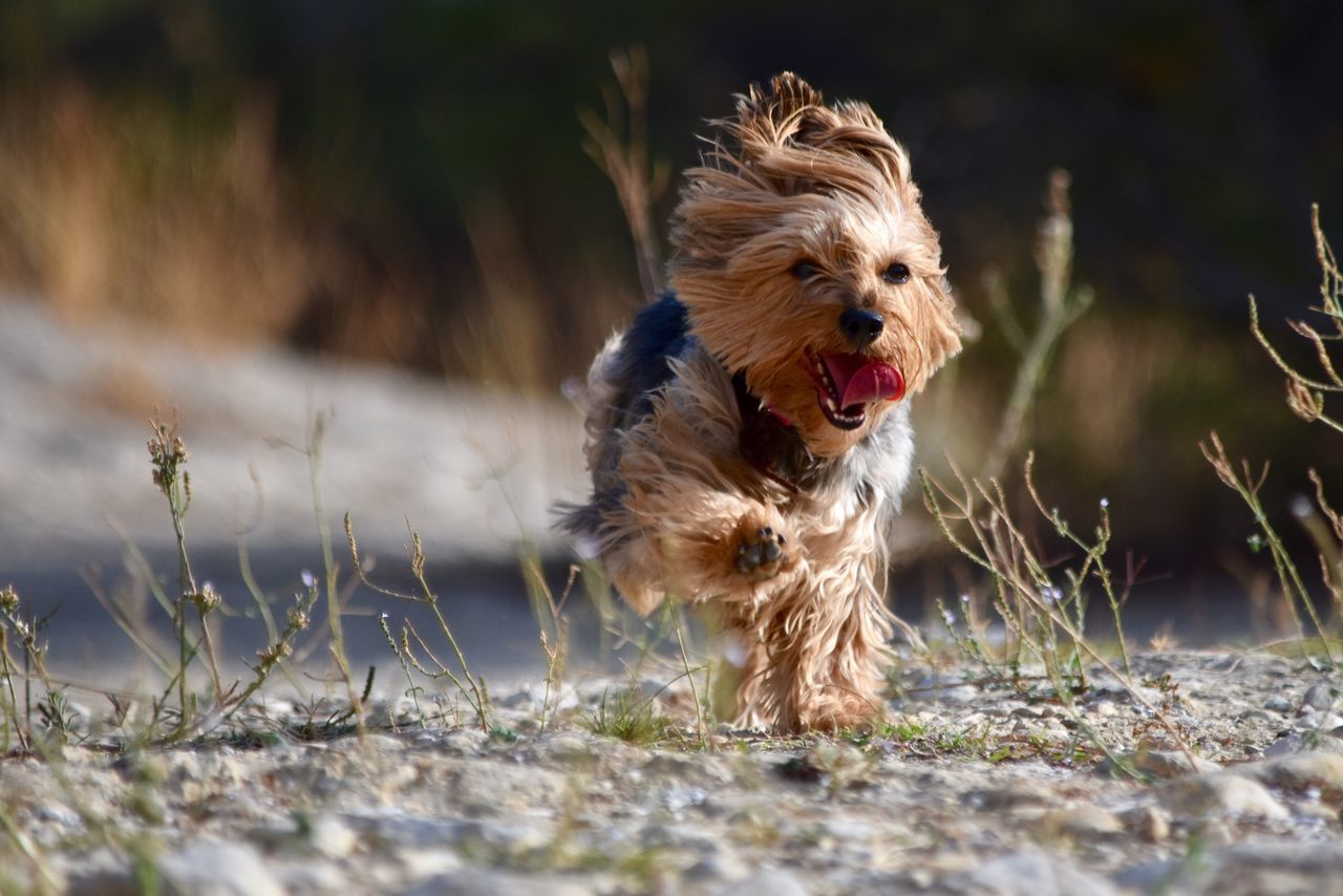 Capture The Moment Yorkshire Terrier Exceptional Photographs Eye4photography  Beauty In Nature EyeEm Best Shots Let's Do It Chic! Respect For The Good Taste Dog Countryside Capturing The Moment Domestic Animals Animal Themes Pets One Animal Mammal No People Grass Growth Outdoors Nature Day
