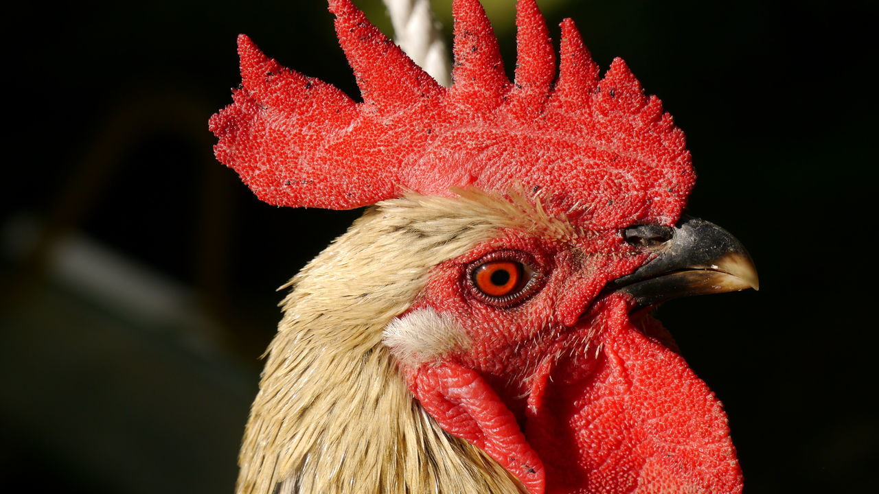 Close-Up Side View Of A Rooster