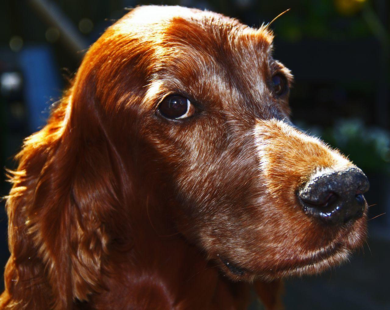 Close-Up Of Irish Setter Dog