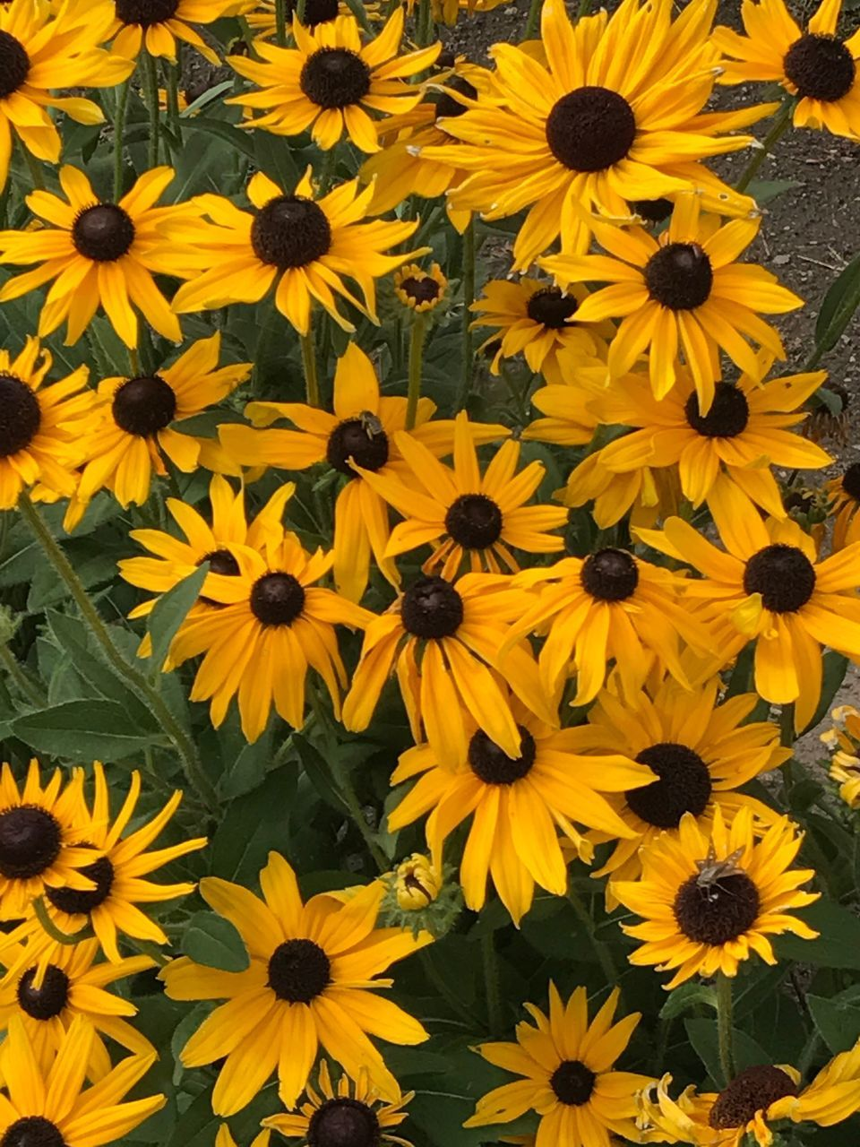 flower, yellow, petal, flower head, fragility, nature, beauty in nature, high angle view, field, freshness, blooming, no people, black-eyed susan, plant, growth, full frame, day, outdoors, close-up