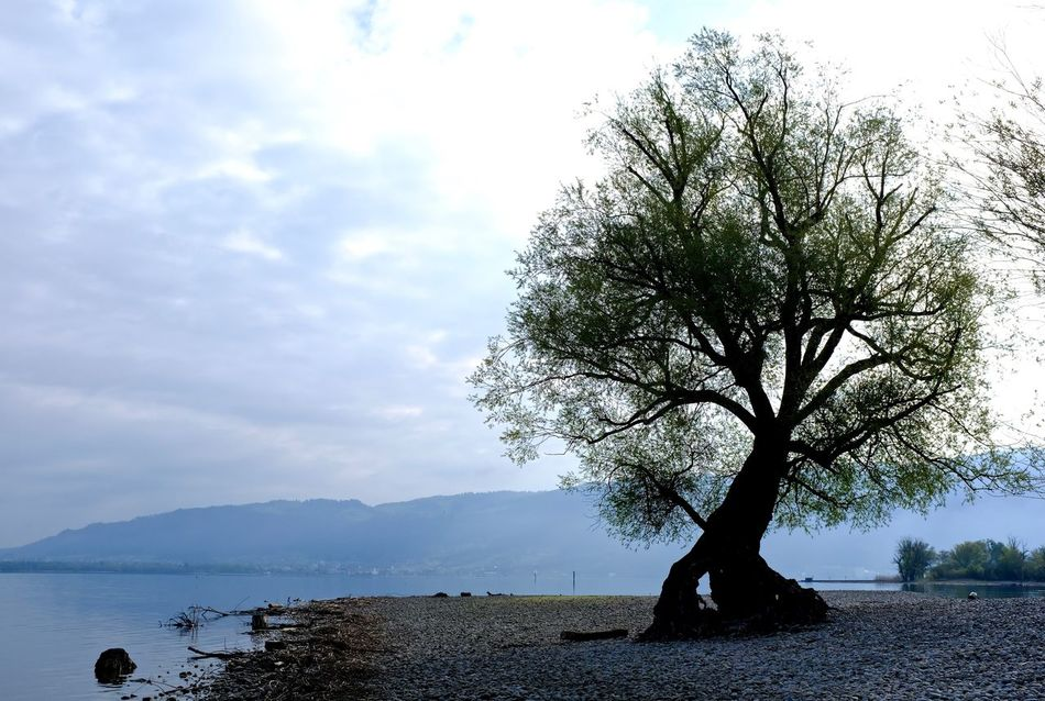 Bare Tree Beauty In Nature Bodensee Cloud - Sky Lakeshore Landscape Nature Outdoors Sky Tree Water
