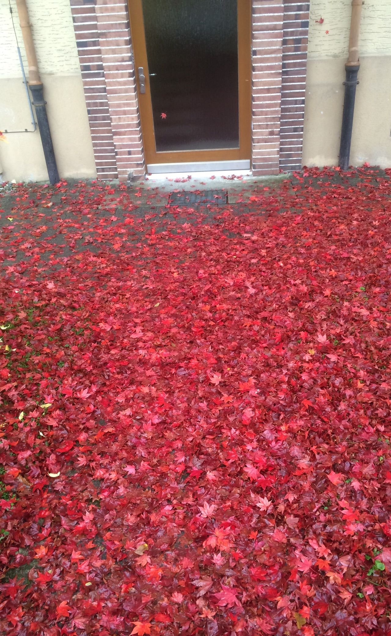 Autumn Leaves Red No People Door Nature Outdoors Day No People,