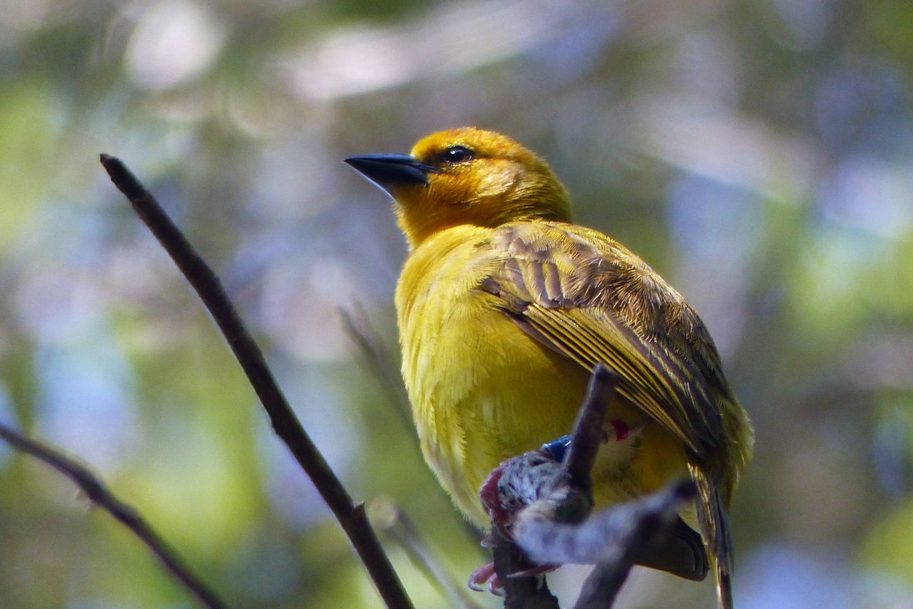 Animal Kingdom Aviary Bird Photography Bokeh Photography Nature Photography Tiny Bird Tree Branch  Yellow Bird In Green Background