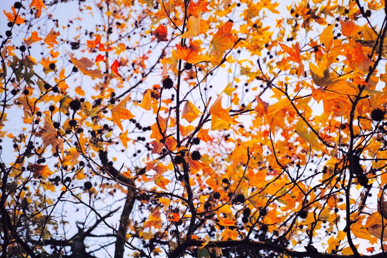 紅葉 First Eyeem Photo Autumn Leaves Autumnal Tints Autum Acorns Yellow Leaves Japan Color Park Taking Photos Taking Pictures Take Photos