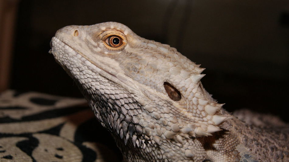 Pogona Animal Wildlife One Animal No People Animal Body Part Reptile Domestic Animals Pogona Vitticeps Pets Animal Photography