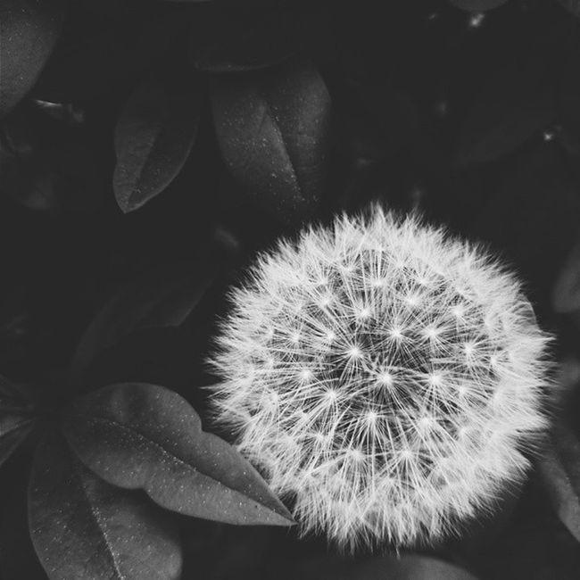 🎼Vscocam 🌞 Polishboy  👌 Dmuchawiec Black And White B &w Leaves 🌿 VSCO Vscopoland Instaflower Insta 😇 Instalike Instagram Impression Instanature 🍀 Naturelover 🌹 Goorovskyphotography XPERIA 🙊 Like 👍 Follow 🙈 Itakdalej Pozdrawiam ⛲ Amazing Time goodnight🎵