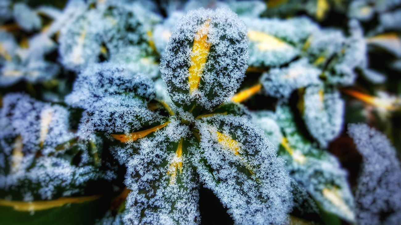 Beauty In Nature Close-up Cold Temperature Green Color Leaves Nature No People Outdoors Plant Selective Focus Snow Winter
