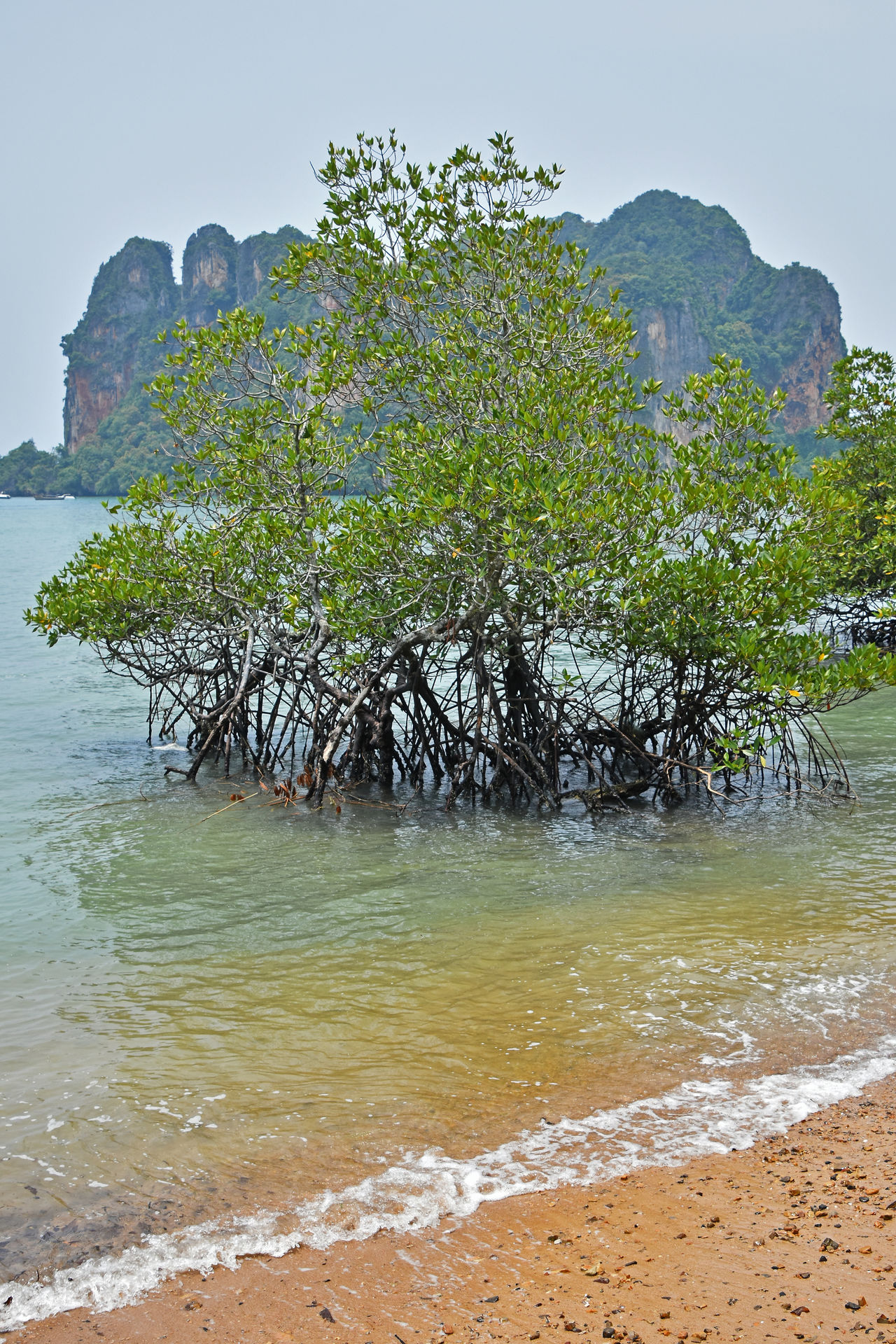 Mangrove trees at coastline of Thailand Bushes Costline Ecology Environment Island Mangrove Mangrove Forest Mangroves Nature Sea Seashore Shore Spotted In Thailand Thai Thailand Trees